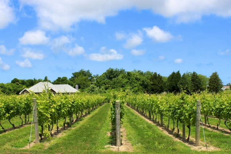 rows-of-vines-at-a-vineyard