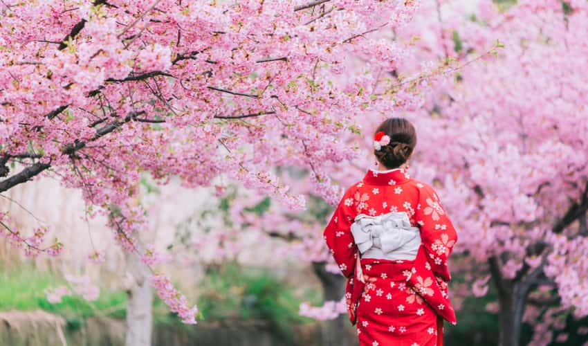 A visitor wearing a kimono and walking under cherry blossoms